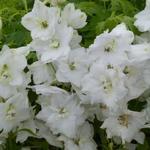 Ridderspoor - Delphinium 'Galahad'