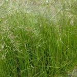 Deschampsia cespitosa - Smele - Deschampsia cespitosa