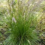 Deschampsia cespitosa 'Tardiflora' - Smele - Deschampsia cespitosa 'Tardiflora'