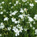 Steenanjer/Zwolse anjer - Dianthus deltoides 'Albiflorus'