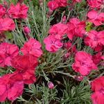 Dianthus gratianopolitanus 'Bombardier' - Rotsanjer - Dianthus gratianopolitanus 'Bombardier'