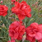 Dianthus plumarius 'David' - Grasanjer - Dianthus plumarius 'David'