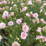 Grasanjer - Dianthus plumarius 'Doris'