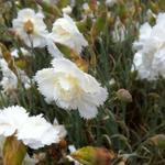 Dianthus plumarius 'Haytor White' - Grasanjer - Dianthus plumarius 'Haytor White'