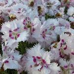 Dianthus plumarius 'Ine' - Anjer - Dianthus plumarius 'Ine'