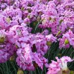 Dianthus plumarius 'Maggie' - Rotsanjer - Dianthus plumarius 'Maggie'