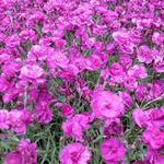 Dianthus plumarius 'Warden Hybrid' - Grasanjer - Dianthus plumarius 'Warden Hybrid'