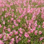 Diascia barberae 'Ruby Field' - Elfenspoor - Diascia barberae 'Ruby Field'