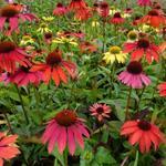 Rode zonnehoed - Echinacea purpurea 'Cheyenne Spirit'