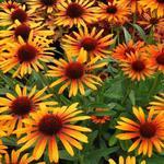 Echinacea purpurea 'Flame Thrower' - Rode zonnehoed - Echinacea purpurea 'Flame Thrower'