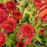 Echinacea purpurea 'Hot Papaya' - Rode zonnehoed - Echinacea purpurea 'Hot Papaya'