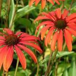 Echinacea purpurea 'Tomato Soup' - Rode zonnehoed - Echinacea purpurea 'Tomato Soup'