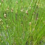 Eleocharis palustris - Waterbies, gewone waterbies - Eleocharis palustris