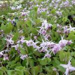 Epimedium grandiflorum 'Akebono' - Epimedium grandiflorum 'Akebono' - Elfenbloem