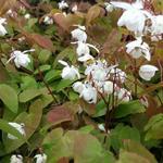 Elfenbloem - Epimedium x youngianum 'Niveum'