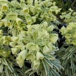Wolfsmelk - Euphorbia characias 'Tasmanian Tiger'
