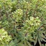 Euphorbia x martinii 'Ascot Rainbow' - Amandelwolfsmelk - Euphorbia x martinii 'Ascot Rainbow'