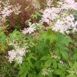 Moerasspirea - Filipendula purpurea 'Elegans'
