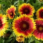Kokardebloem - Gaillardia aristata 'Arizona Sun'