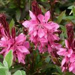 Prachtkaars - Gaura lindheimeri 'Crimson Butterflies'