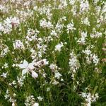 Prachtkaars - Gaura lindheimeri 'White Dove'