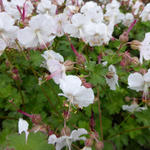 Ooievaarsbek - Geranium x cantabrigiense 'St Ola'