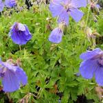 Geranium himalayense 'Irish Blue' - Geranium himalayense 'Irish Blue' - Ooievaarsbek