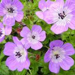 Geranium 'Bloom Time' - Geranium 'Bloom Time' - Ooievaarsbek