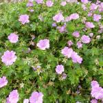 Geranium 'Blushing Turtle' - Geranium 'Blushing Turtle' - Ooievaarsbek