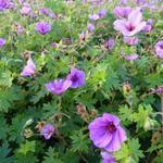 Geranium  'Dilys' - Ooievaarsbek - Geranium  'Dilys'