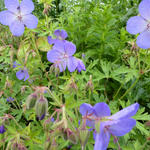 Ooievaarsbek - Geranium 'Johnson's Blue'