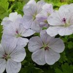Ooievaarsbek - Geranium 'Lilac Ice'