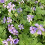 Geranium 'Philippe Vapelle' - Ooievaarsbek - Geranium 'Philippe Vapelle'