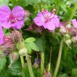 Geranium macrorrhizum 'Bevan's Variety' - Geranium macrorrhizum 'Bevan's Variety' - Ooievaarsbek
