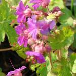 Geranium macrorrhizum 'Czakor' - Geranium macrorrhizum 'Czakor' - Ooievaarsbek