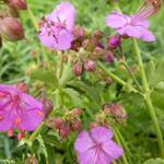 Geranium macrorrhizum 'Olympos' - Ooievaarsbek - Geranium macrorrhizum 'Olympos'