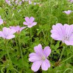 Geranium x oxonianum  'Rosenlicht' - Ooievaarsbek - Geranium x oxonianum  'Rosenlicht'
