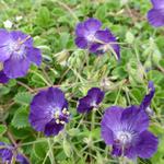 Ooievaarsbek - Geranium phaeum 'Lily Lovell'