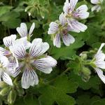 Geranium renardii - Ooievaarsbek - Geranium renardii