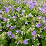 Geranium sylvaticum 'Birch Lilac' - Bosooievaarsbek - Geranium sylvaticum 'Birch Lilac'