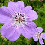 Geranium wallichianum 'Buxton's Variety' - Ooievaarsbek - Geranium wallichianum 'Buxton's Variety'