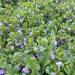 Glechoma hederacea - Hondsdraf - Glechoma hederacea