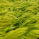 Japans berggras - Hakonechloa macra 'All Gold'