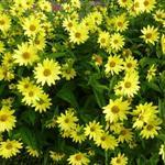 Zonnebloem - Helianthus 'Lemon Queen'