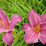 Daglelie - Hemerocallis 'Summer Wine'