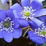 Leverbloempje - Hepatica nobilis