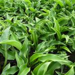 Hosta 'Harry van Trier' - Hartlelie/Funkia - Hosta 'Harry van Trier'