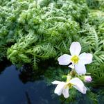 Waterviolier - Hottonia palustris