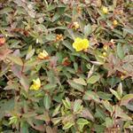 Hypericum moserianum ´Tricolor´ - Hertshooi, Sint-Janskruid - Hypericum moserianum ´Tricolor´