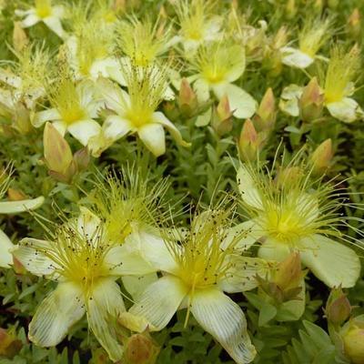 Hypericum olympicum f. uniflorum 'Citrinum' - Hertshooi, Sint-Janskruid - Hypericum olympicum f. uniflorum 'Citrinum'